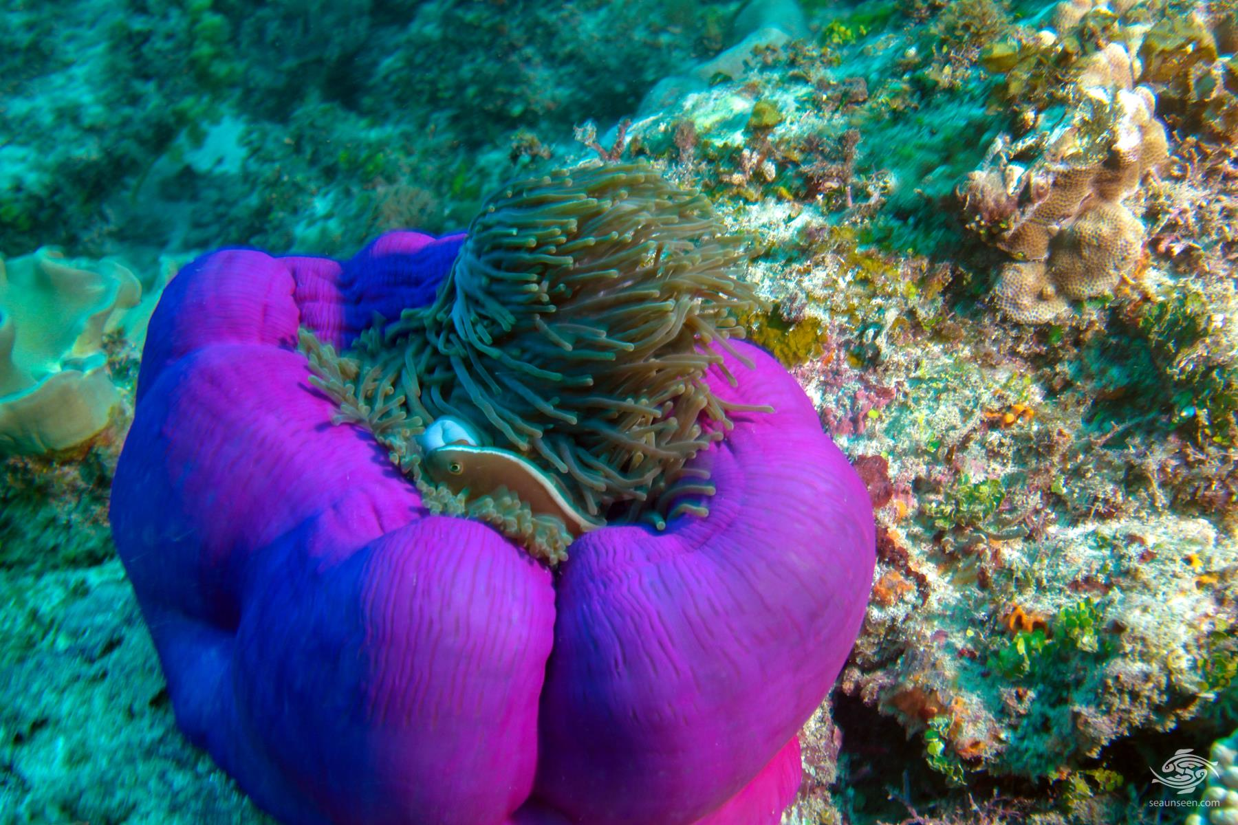 A magnificent anemone heteractis magnificae at Powoni near Paje in Zanzibar
