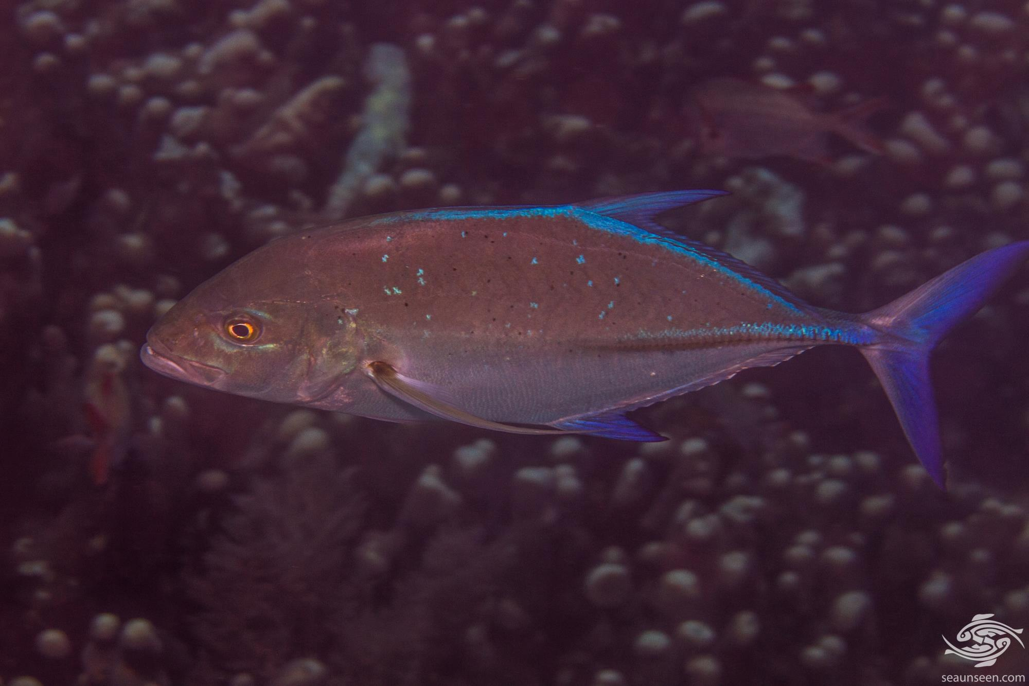 bluefin trevally, Caranx melampygus is also known as the bluefin jack, blue finned crevalle, omilu, blue ulua and in South Africa as the bluefin king fish