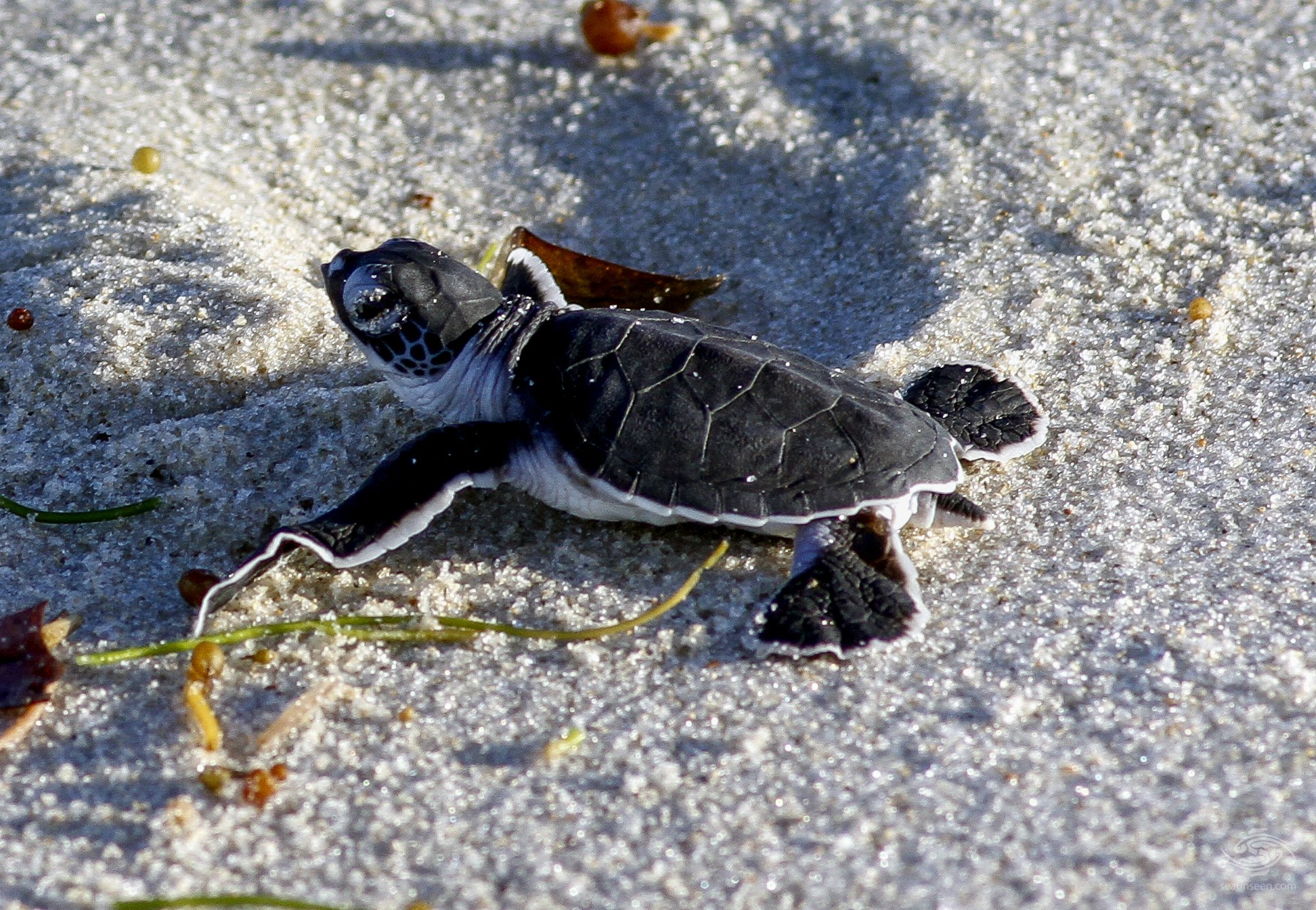 A young turtle just hatched on its way to the sea. Mafia Island