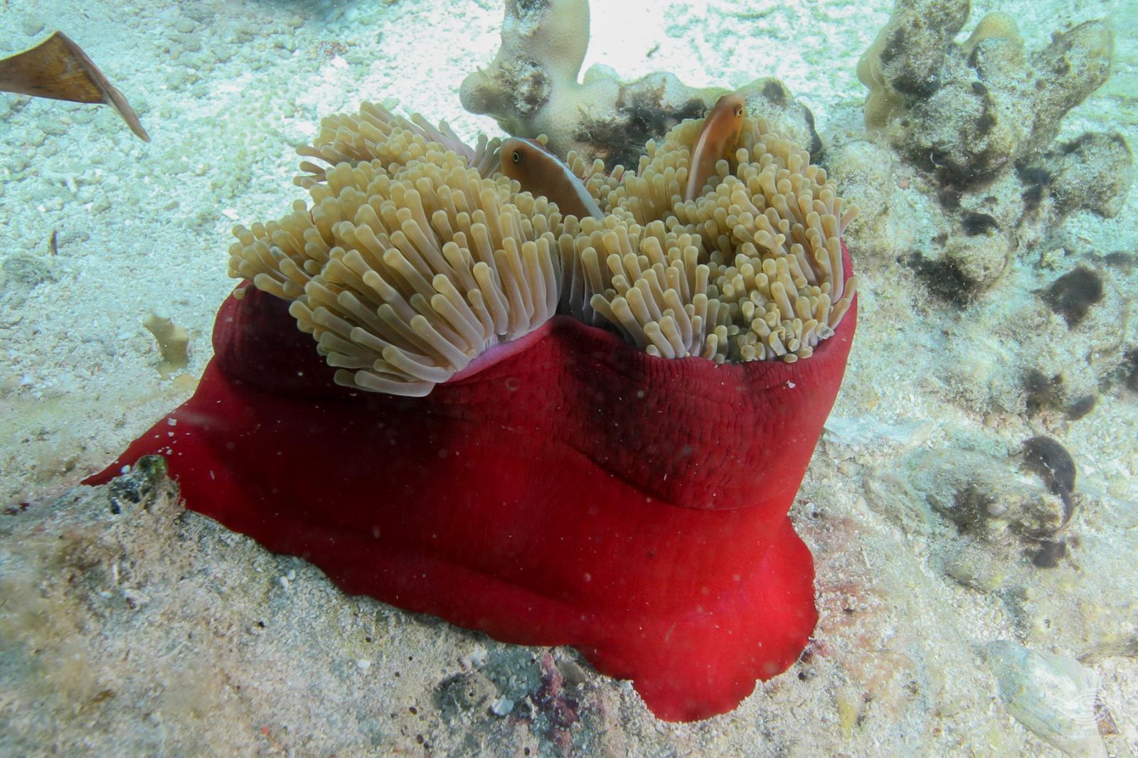 magnificent anemone, Heteractis magnifica Tanzania diving6