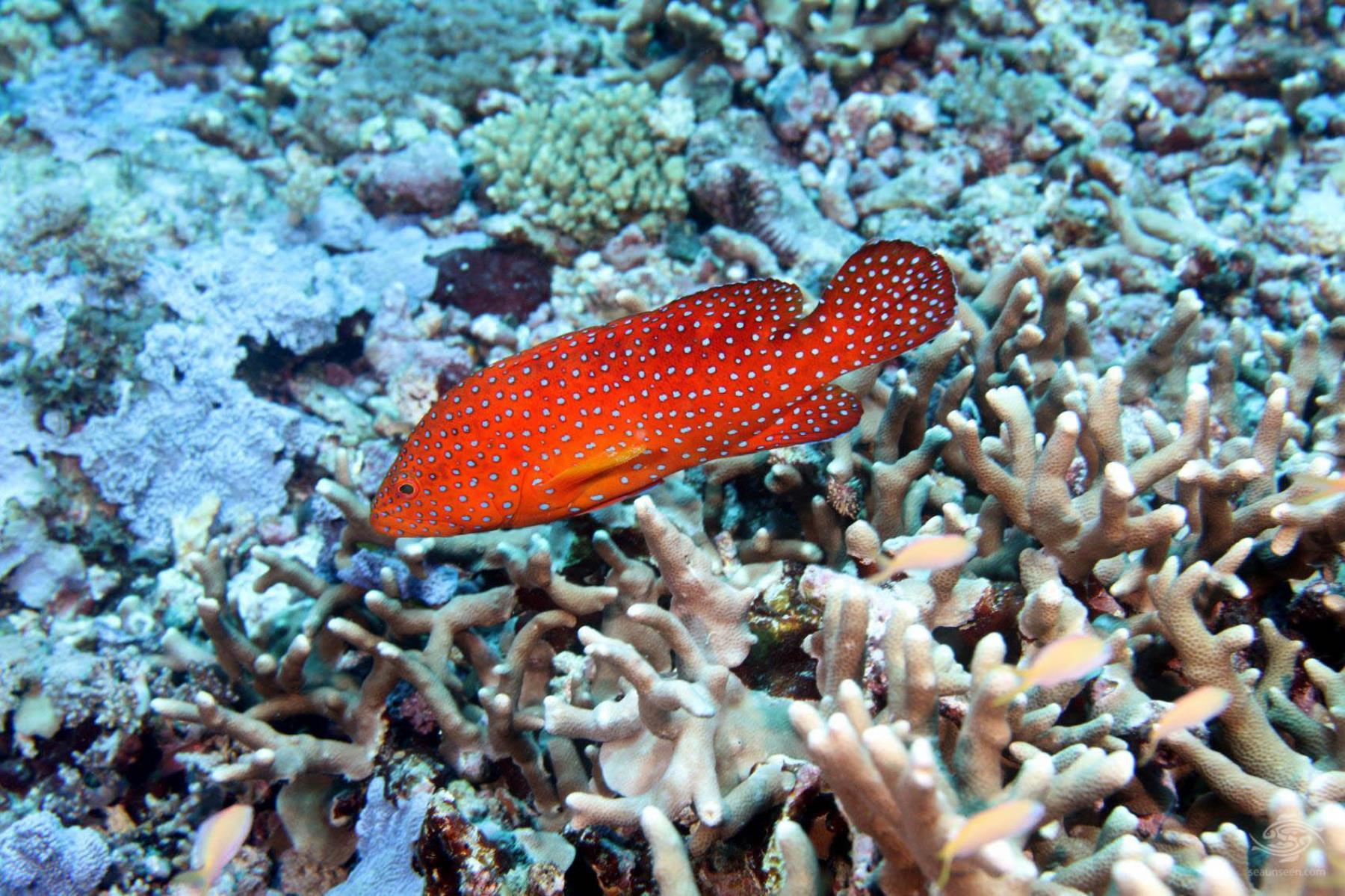 Coral Rock cod Cephalopholis miniata Mafia island scuba diving Tanzania Mikindini reef inner