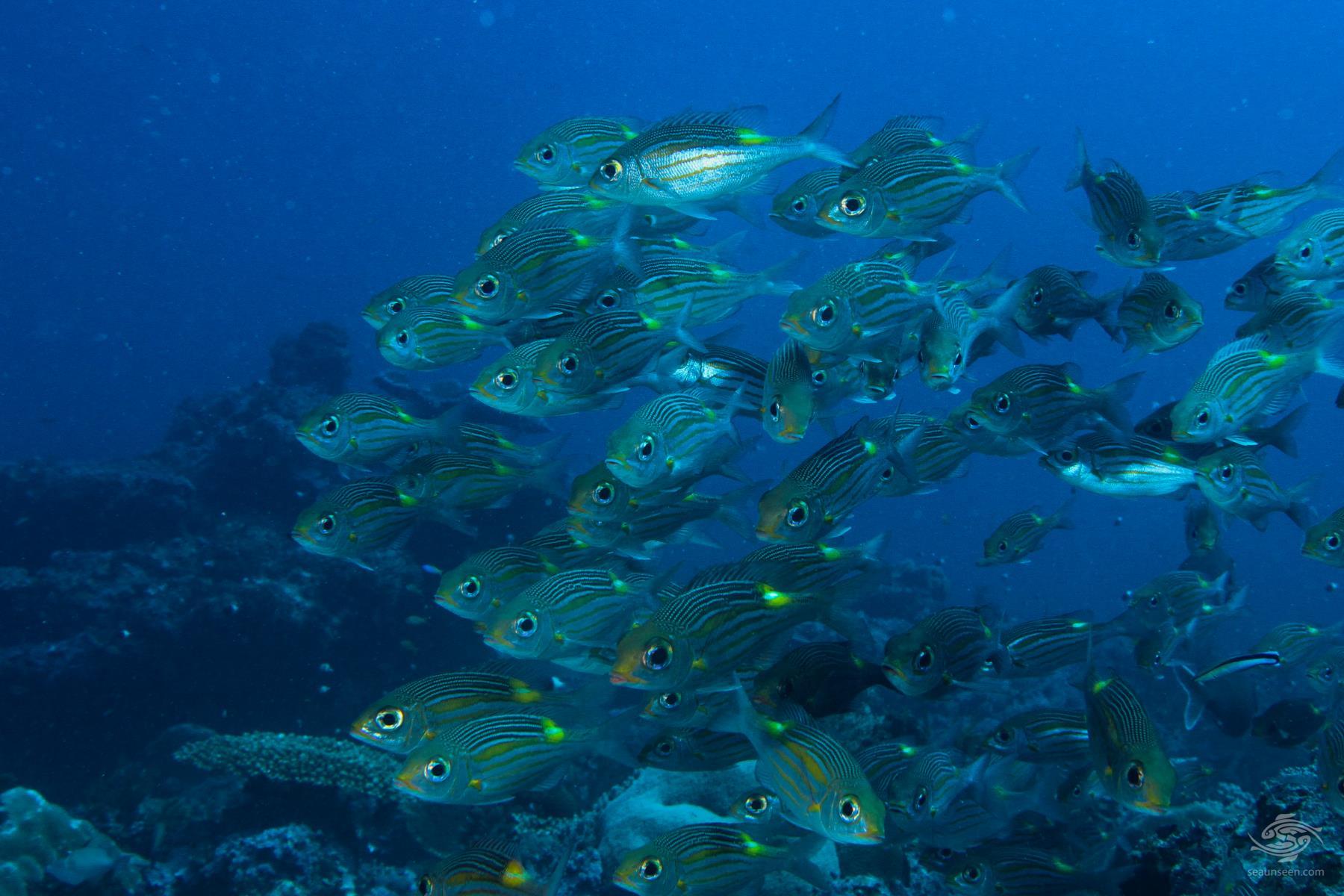 Glowfish Gnathodentex aureolineatus on Mafia Island