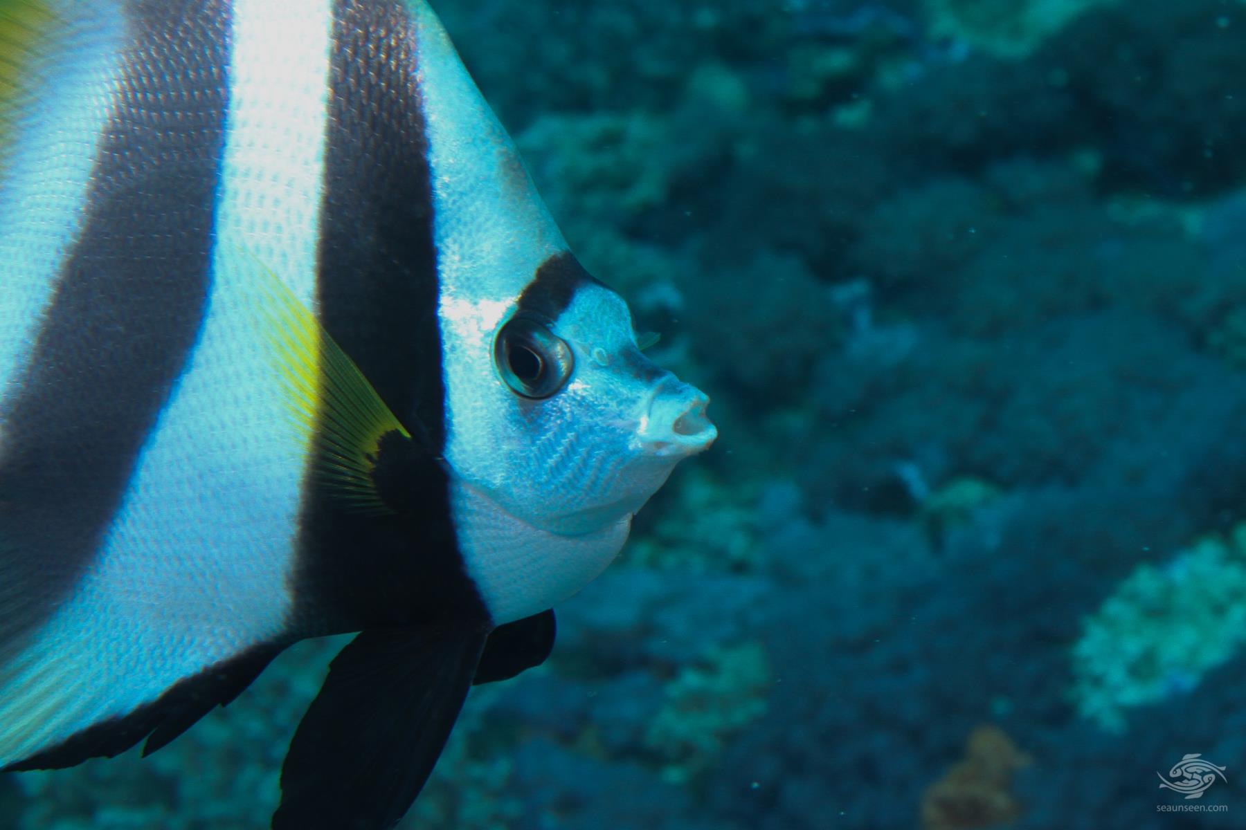 Longfin bannerfish Heniochus acuminatus
