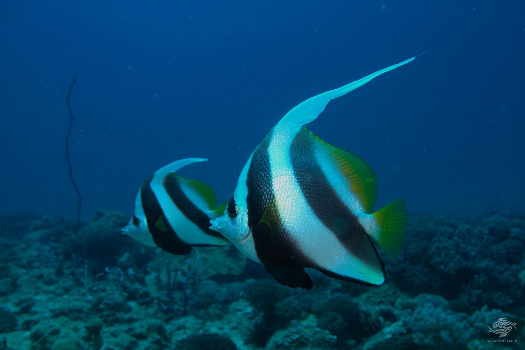 Longfin A pair of longfin bannerfish Heniochus acuminatus on Kankadya reef Tanzania