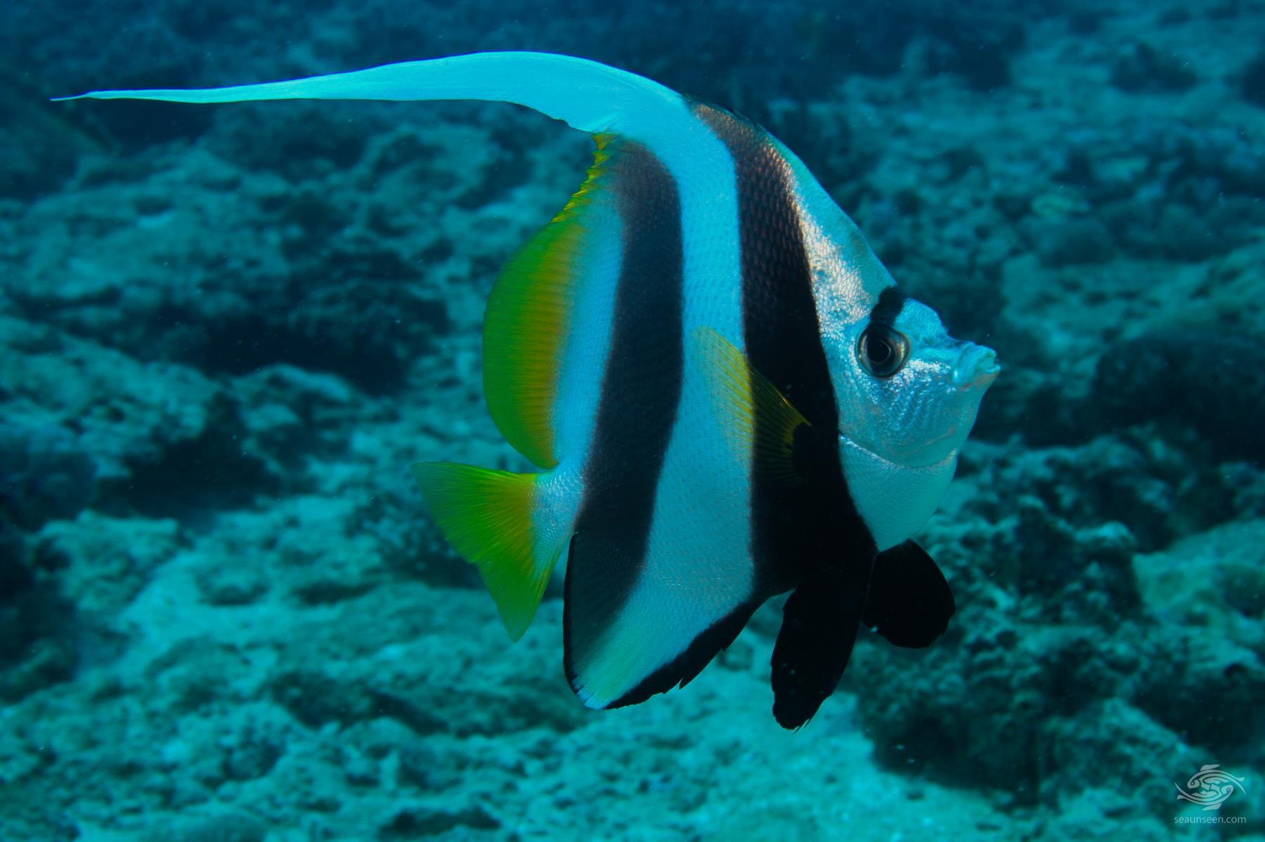 Longfin Bannerfish Heniochus acuminatus on Kankadya reef Tanzania