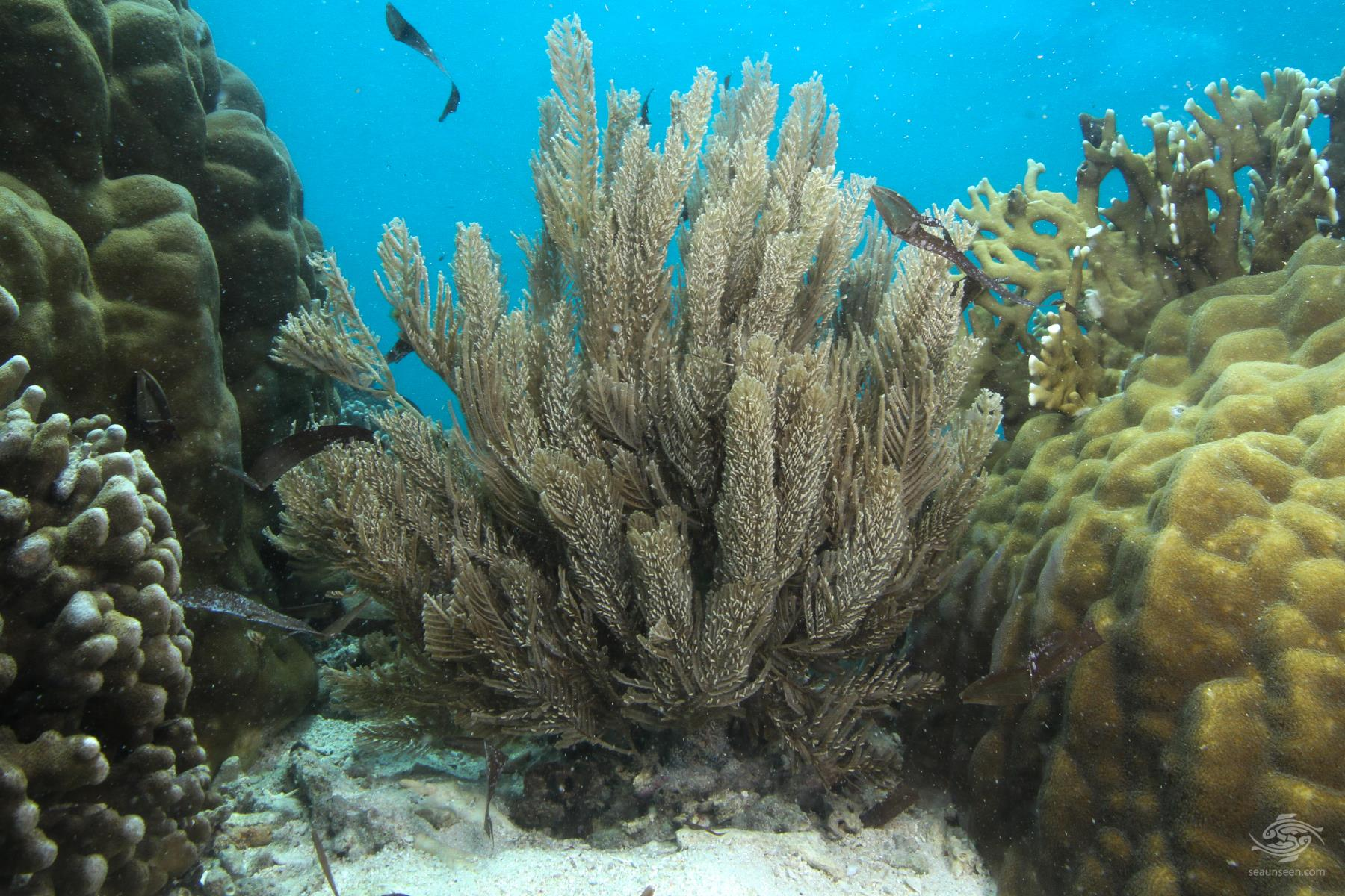 A large specimen of fireweed, Aglaophenia cupressina a stinging hydroid