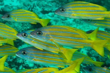 blue striped snapper Lutjanus kasmira on Mafia Island Tanzania