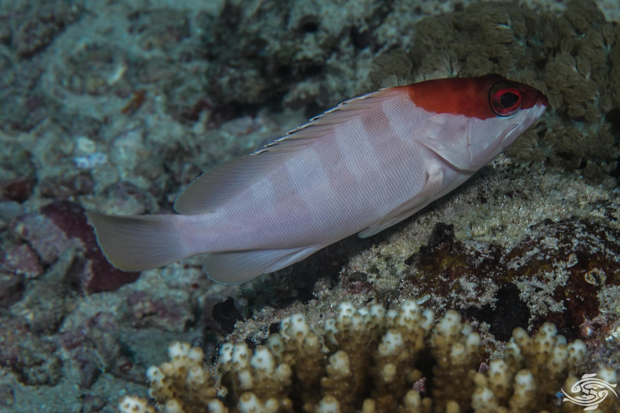 Adult red barred rock cod epinephelus fasciatus