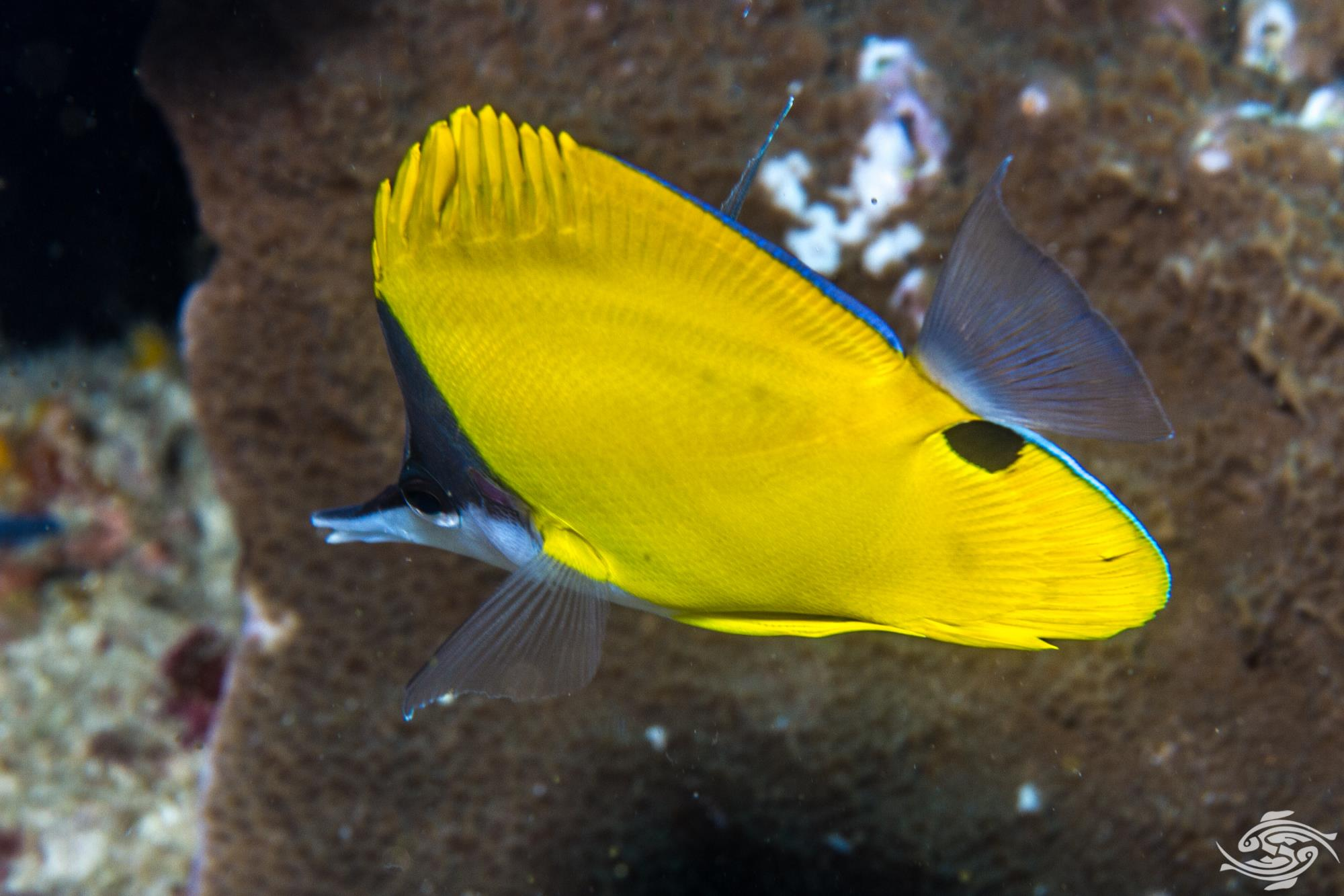 yellow longnose butterflyfish Forcipiger flavissimus, also known as the forceps butterflyfish