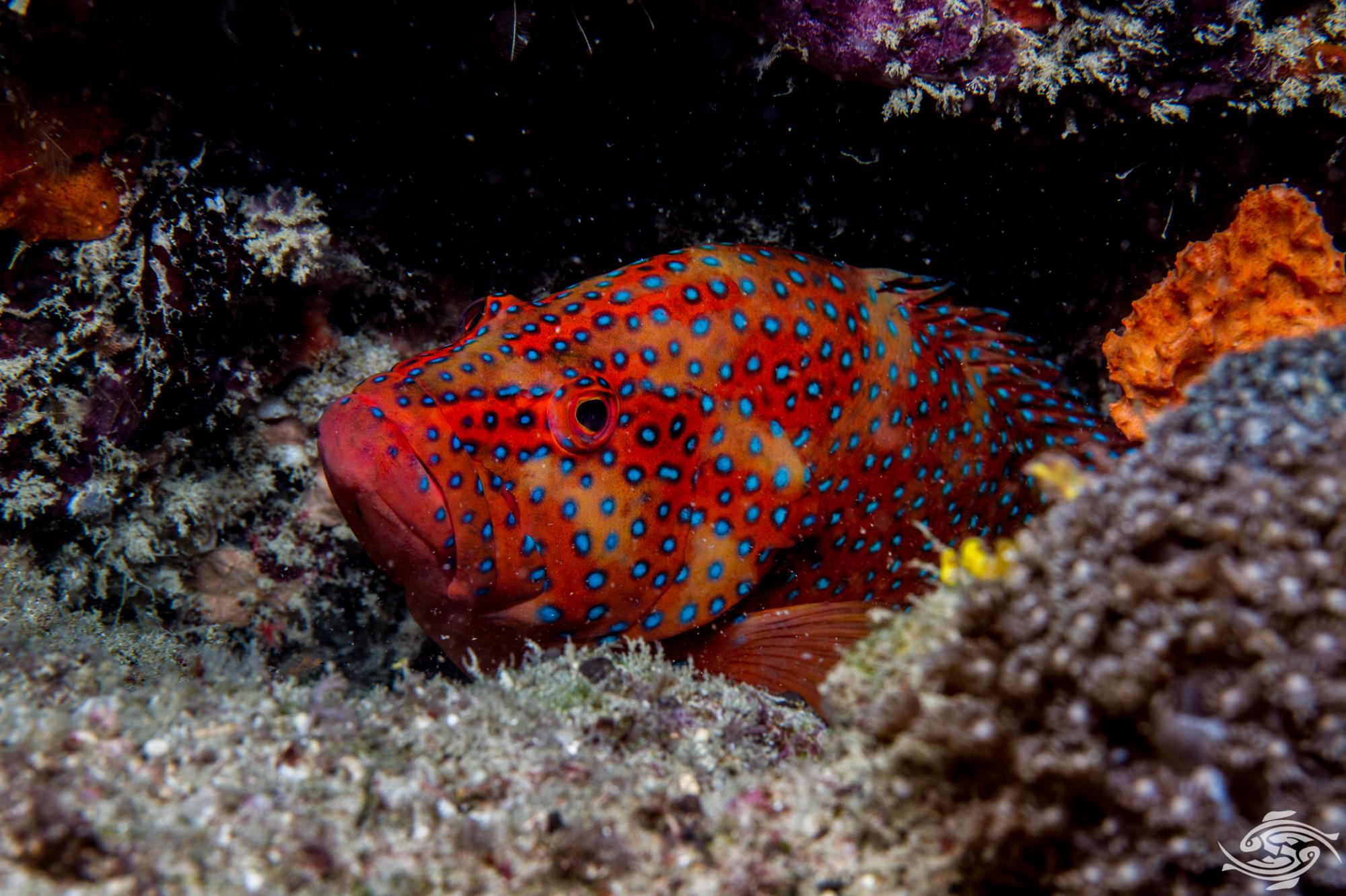 Coral Rock Cod - Facts and Photographs - Seaunseen