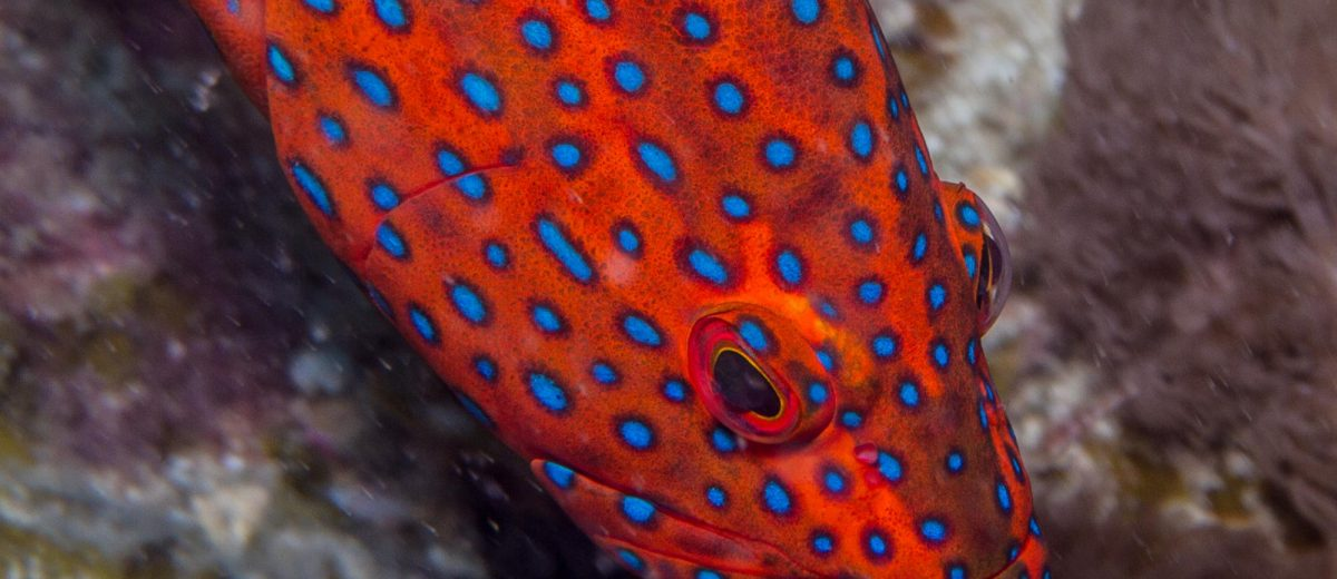 coral rock cod, Cephalopholis miniata, is also known as thecoral hind, miniatus grouper, miniata grouper, vermilion seabass, and coral grouper