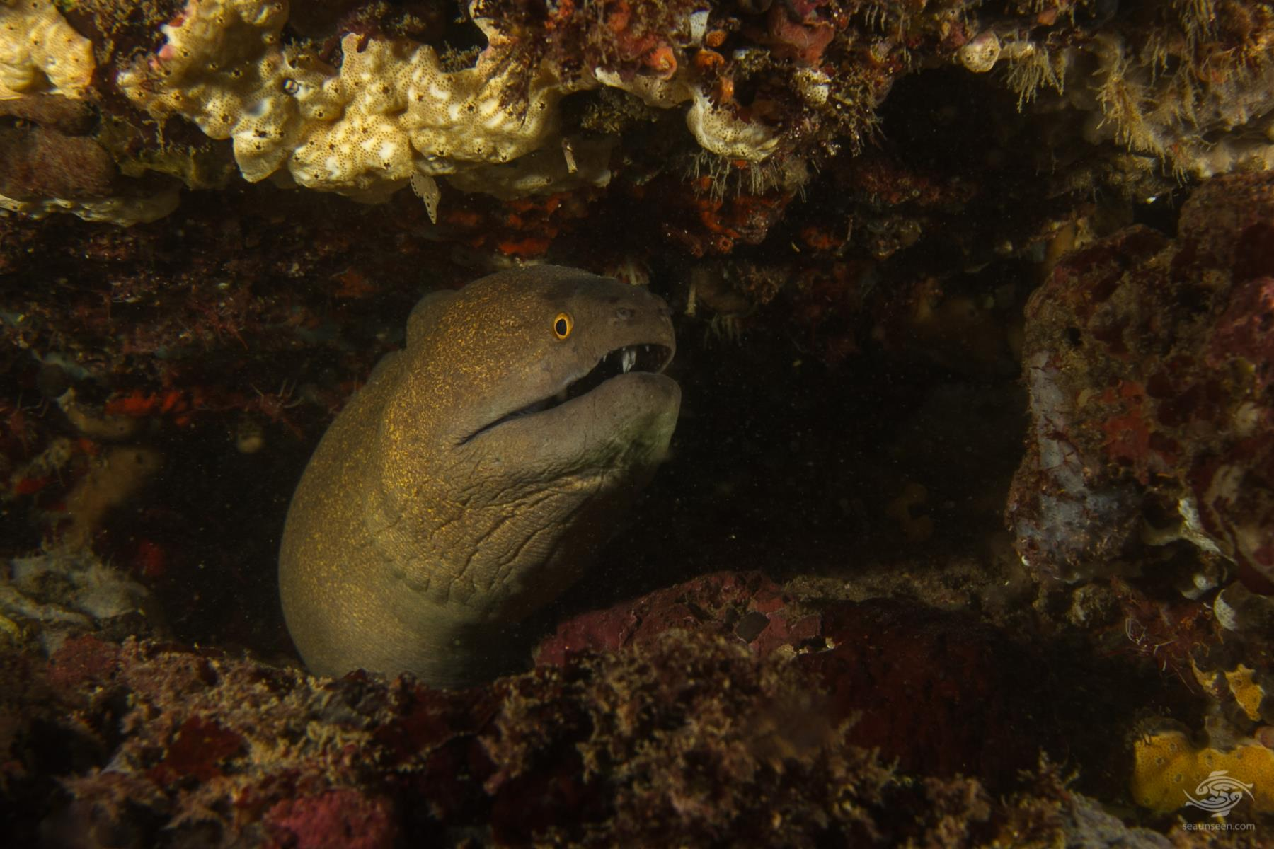 Giant Moray Eel Bongoyo patches Dar es Salaam