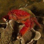 Spoon Crab