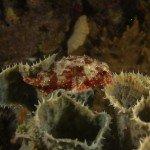 Yellow spotted Scorpionfish