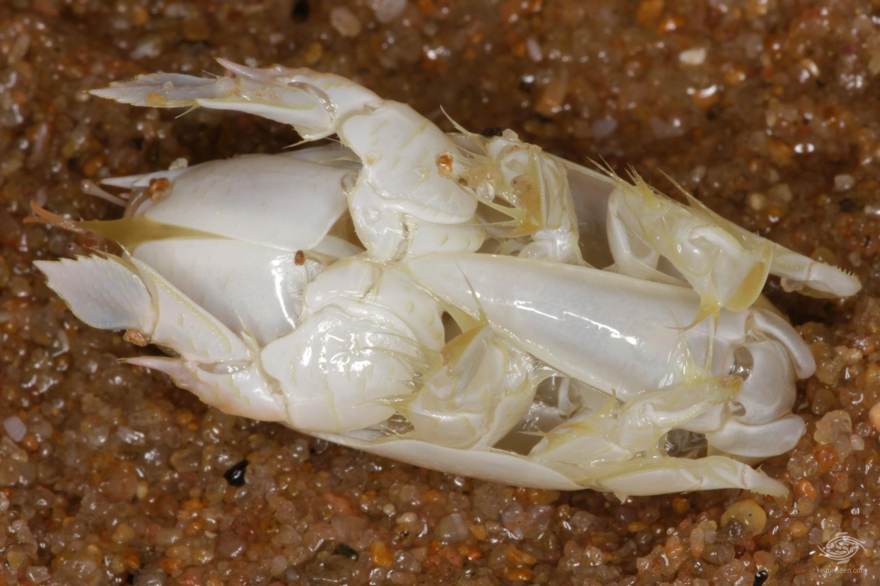 Mole Crabs- Sea Lice-Genus Emerita underside showing legs and telford