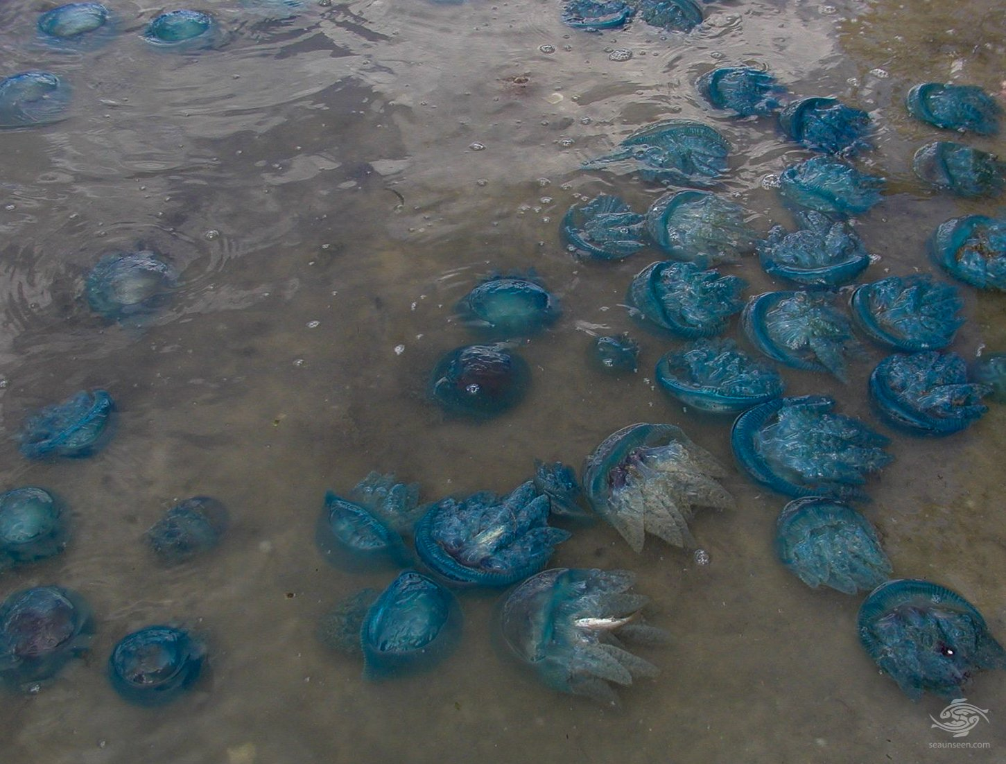 Blue blubber jellyfish washed up onto the beach
