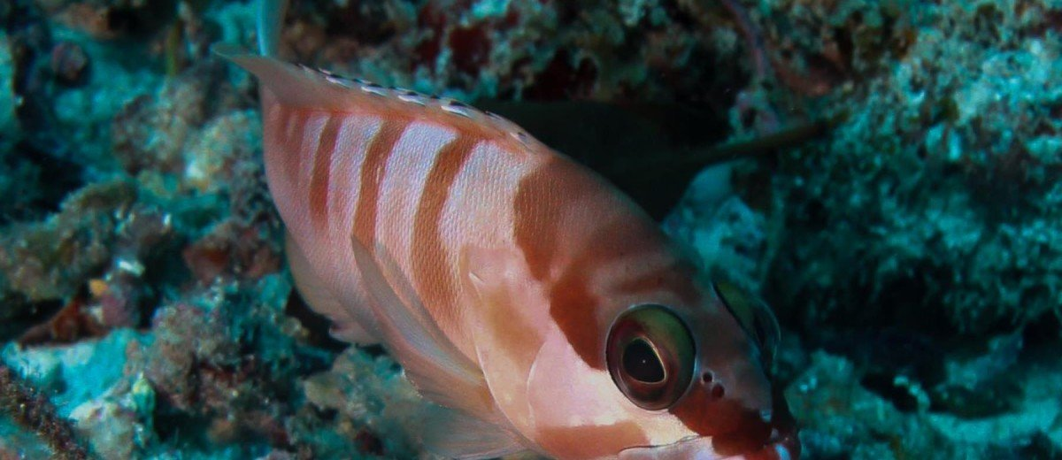 Red Barred Rock Cod Epinephelus fasciatus