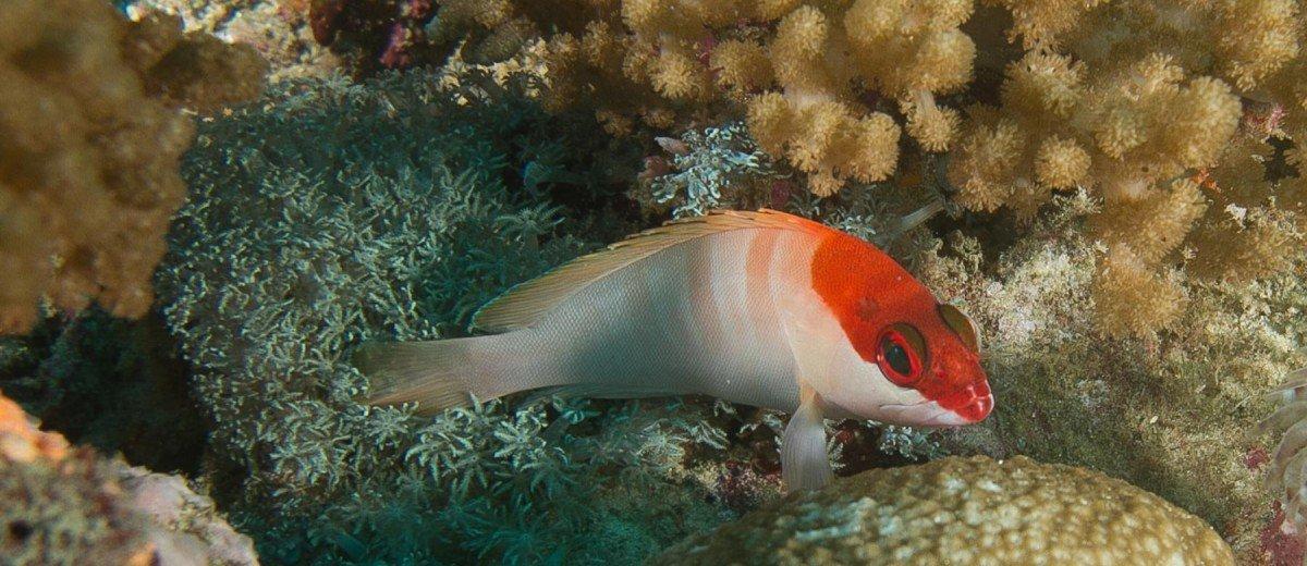 Juvenile red barred rock cod epinephelus fasciatus on Kankadya reef dar es salaam