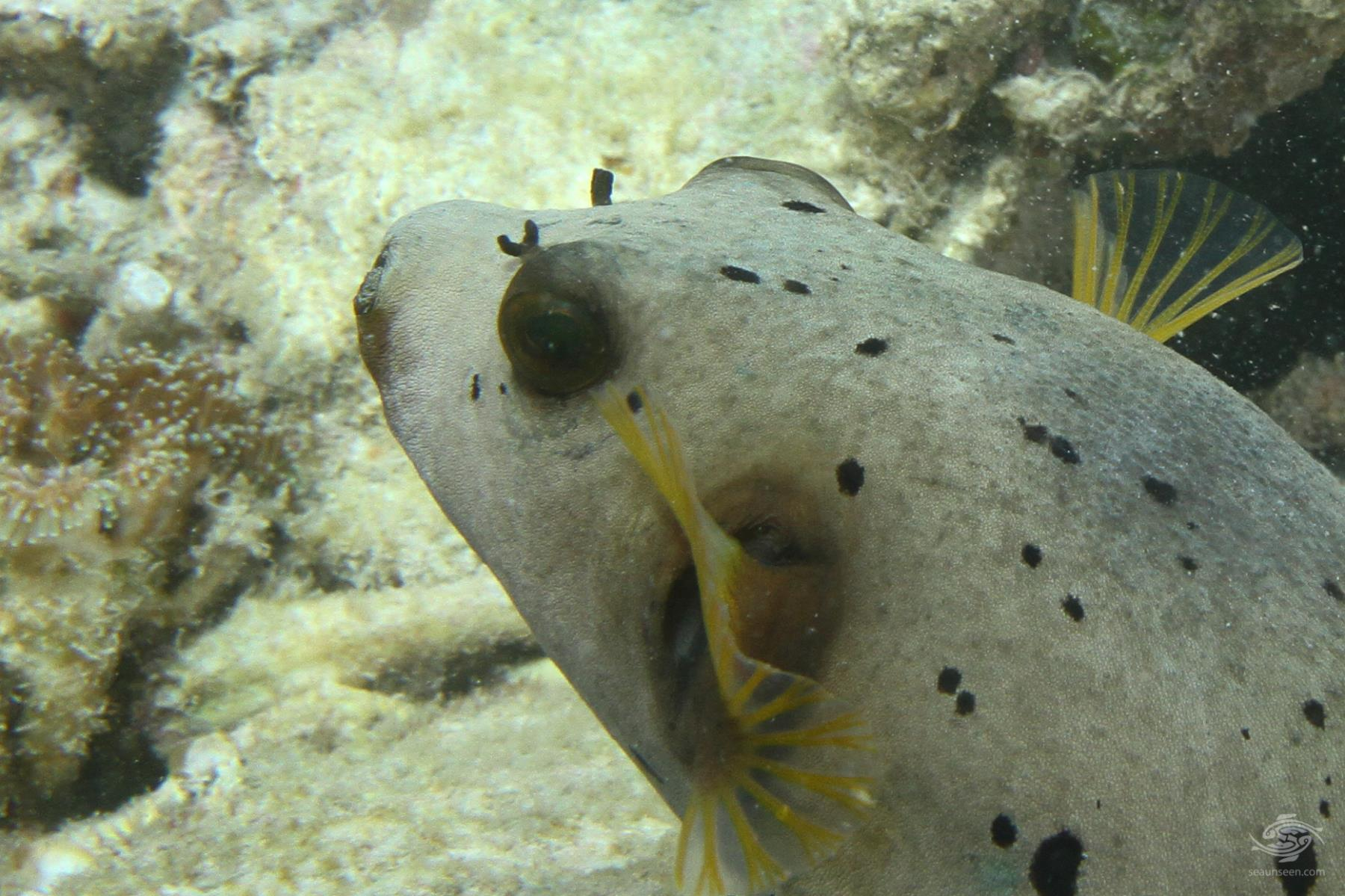 Black spotted pufferfish (Arothron nigropunctatus)