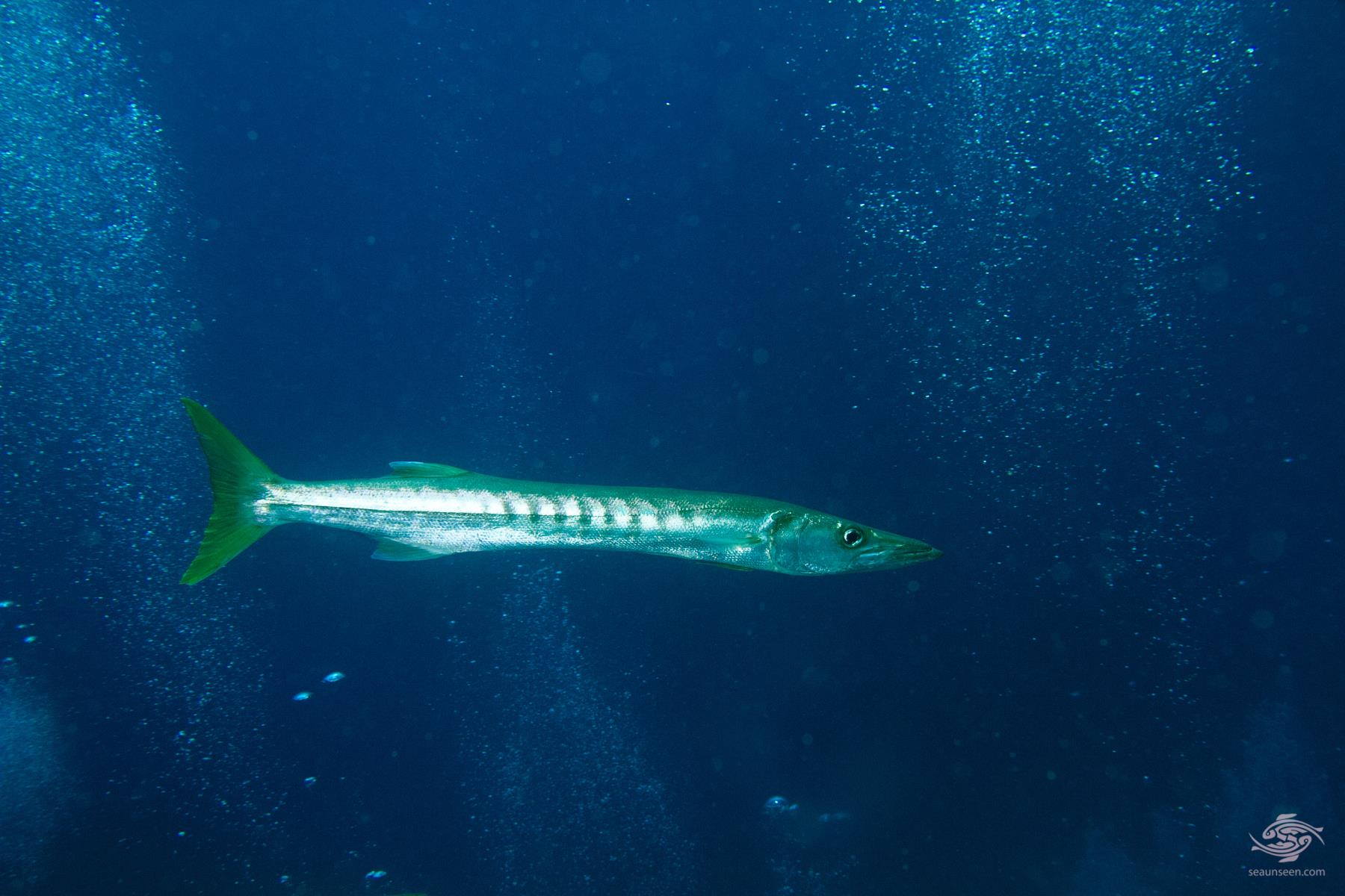 pickhandle barracuda (Sphyraena jello)