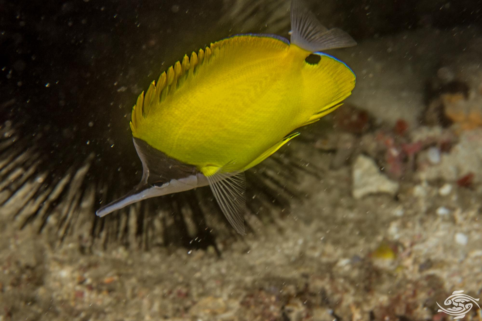 yellow longnose butterflyfish or forceps butterflyfish, Forcipiger flavissimus,