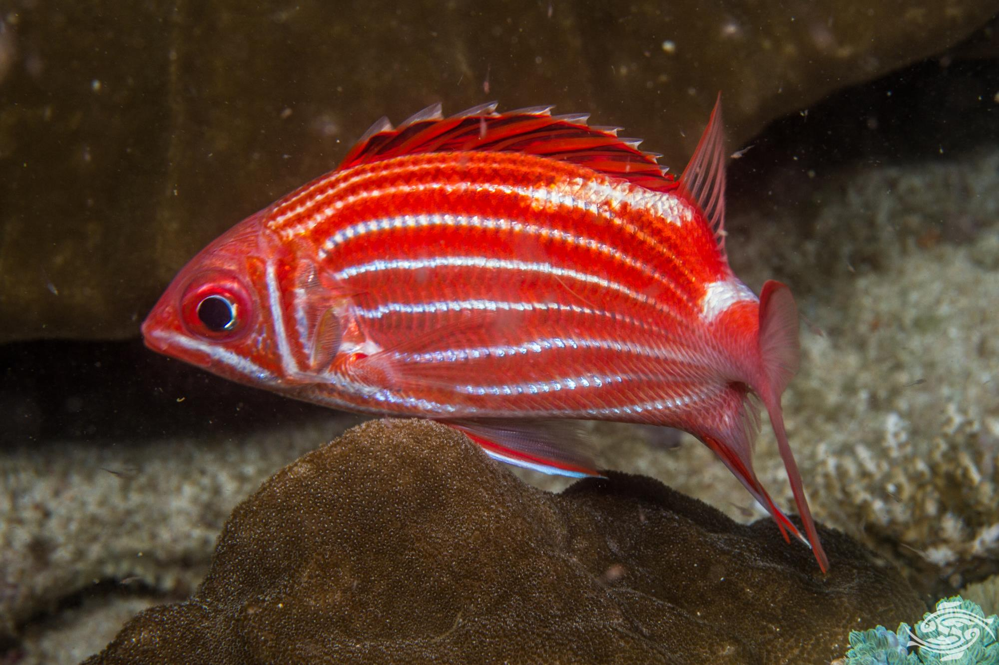crowned squirrelfish Sargocentron diadema seen hunting at night