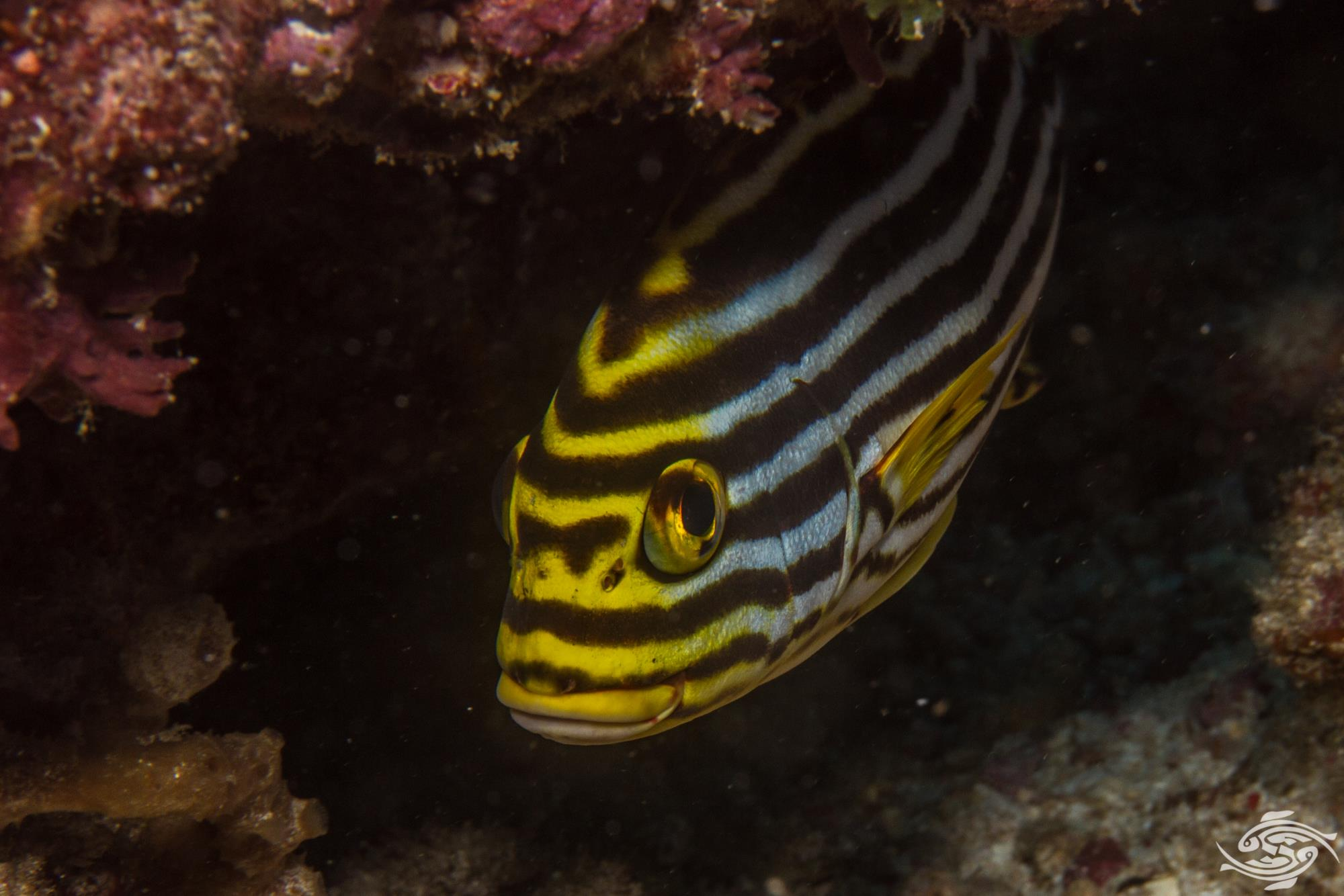 oriental sweetlips Plectorhinchus vittatus, also known as the Indian Ocean oriental sweetlips