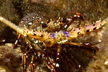 longlegged spiny lobster, Panulirus longipes