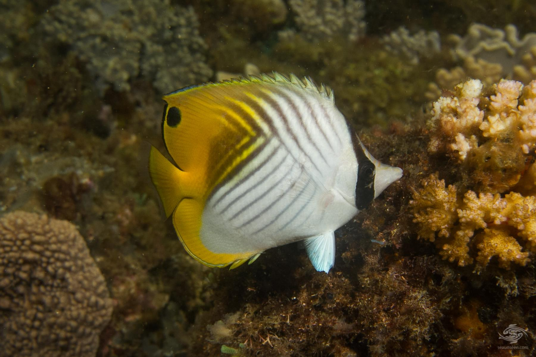 threadfin butterflyfish Chaetadon auriga