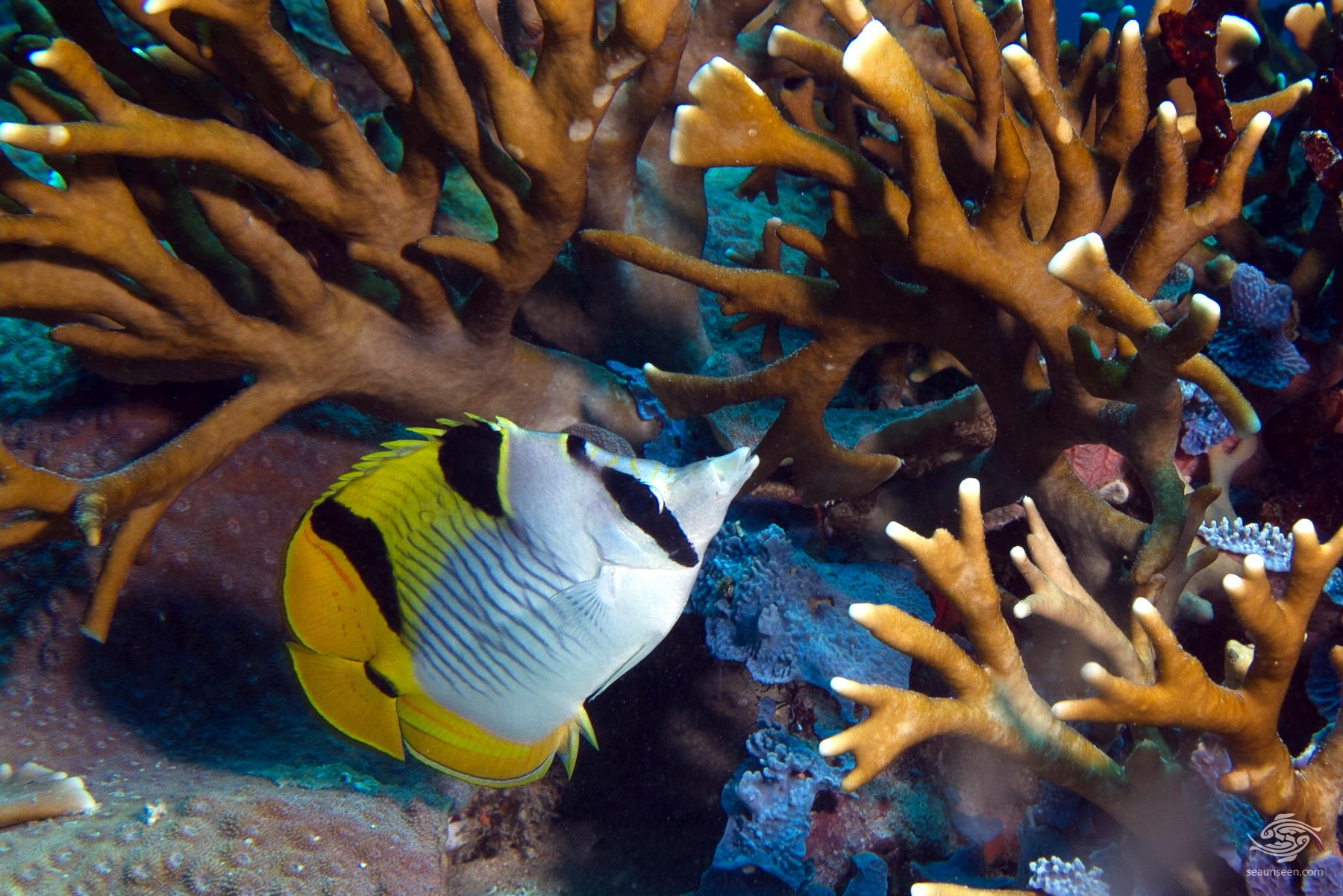Blackwedged butterflyfish Chaetodon falcula