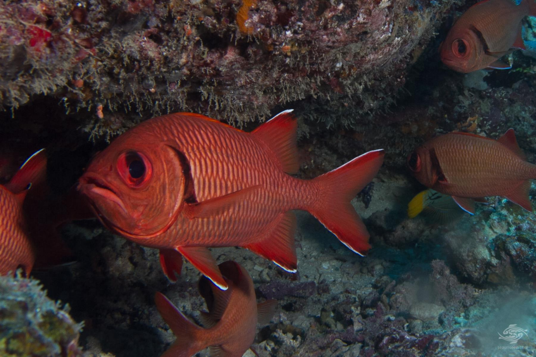 Blotcheye Soldierfish - Facts and Photographs - Seaunseen
