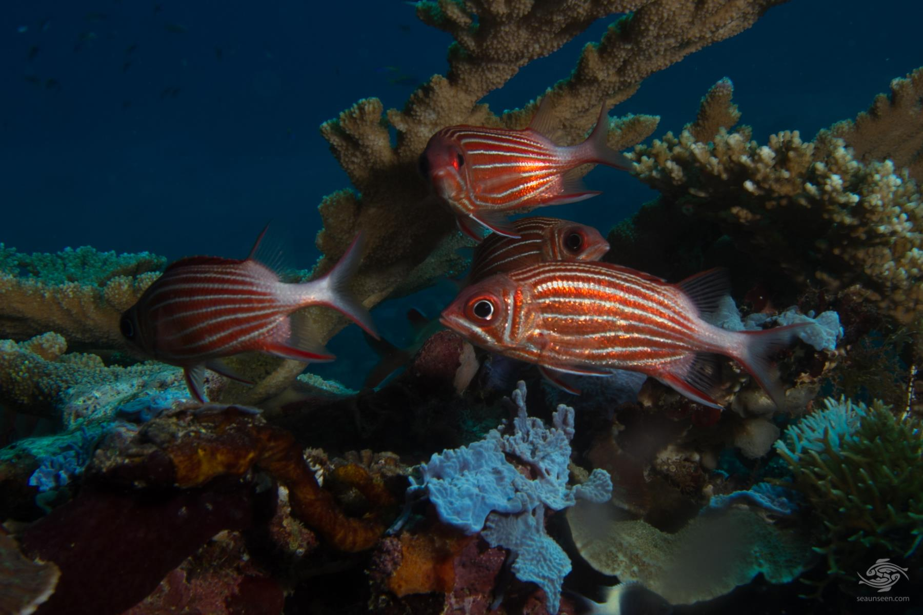 crowned squirrelfish Sargocentron diadema