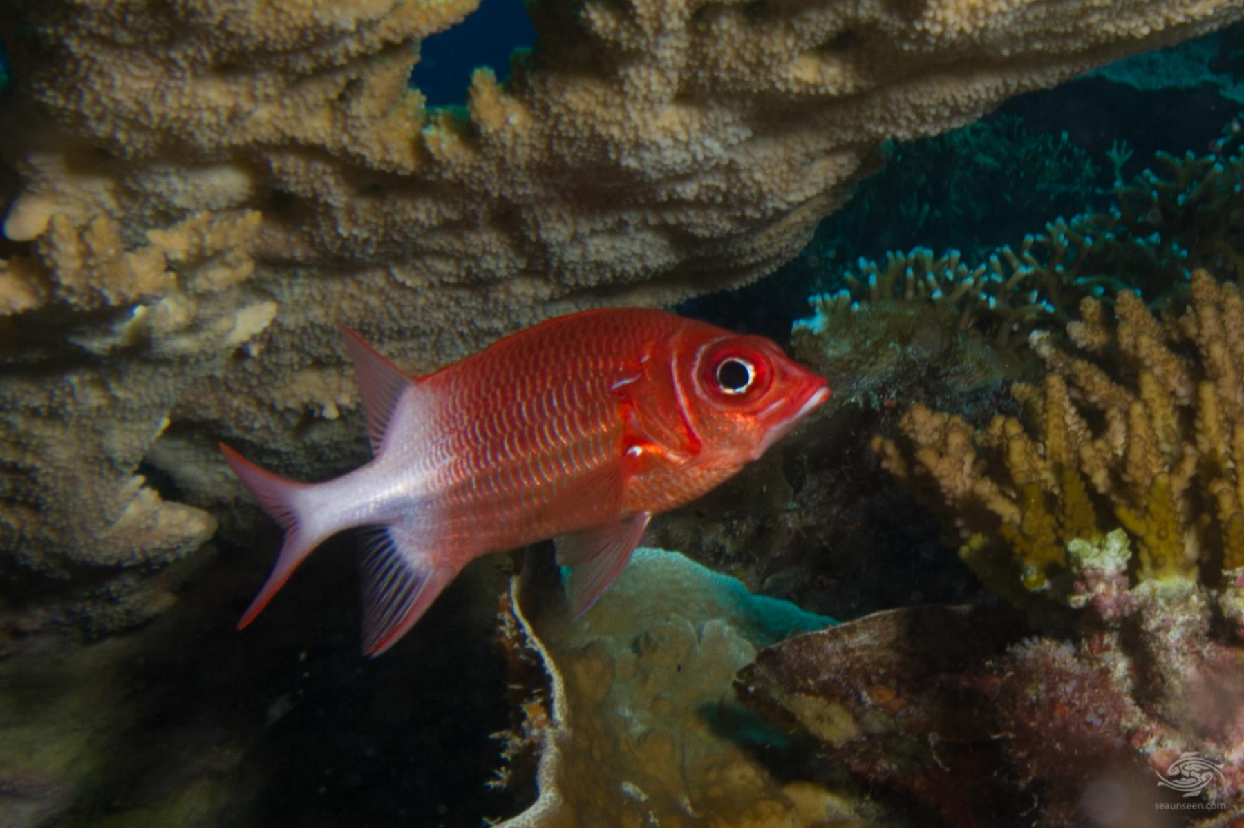 Tailspot Squirrelfish-Facts and Photographs - Seaunseen