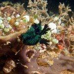 Nembrotha milleri, nudibranch at nudi city
