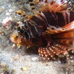 A common lionfish at nudicity