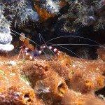 Banded coral shrimp at nudi city
