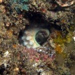 An octupus hiding in a hole at nudi city