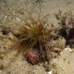 A sand anemone at nudi city
