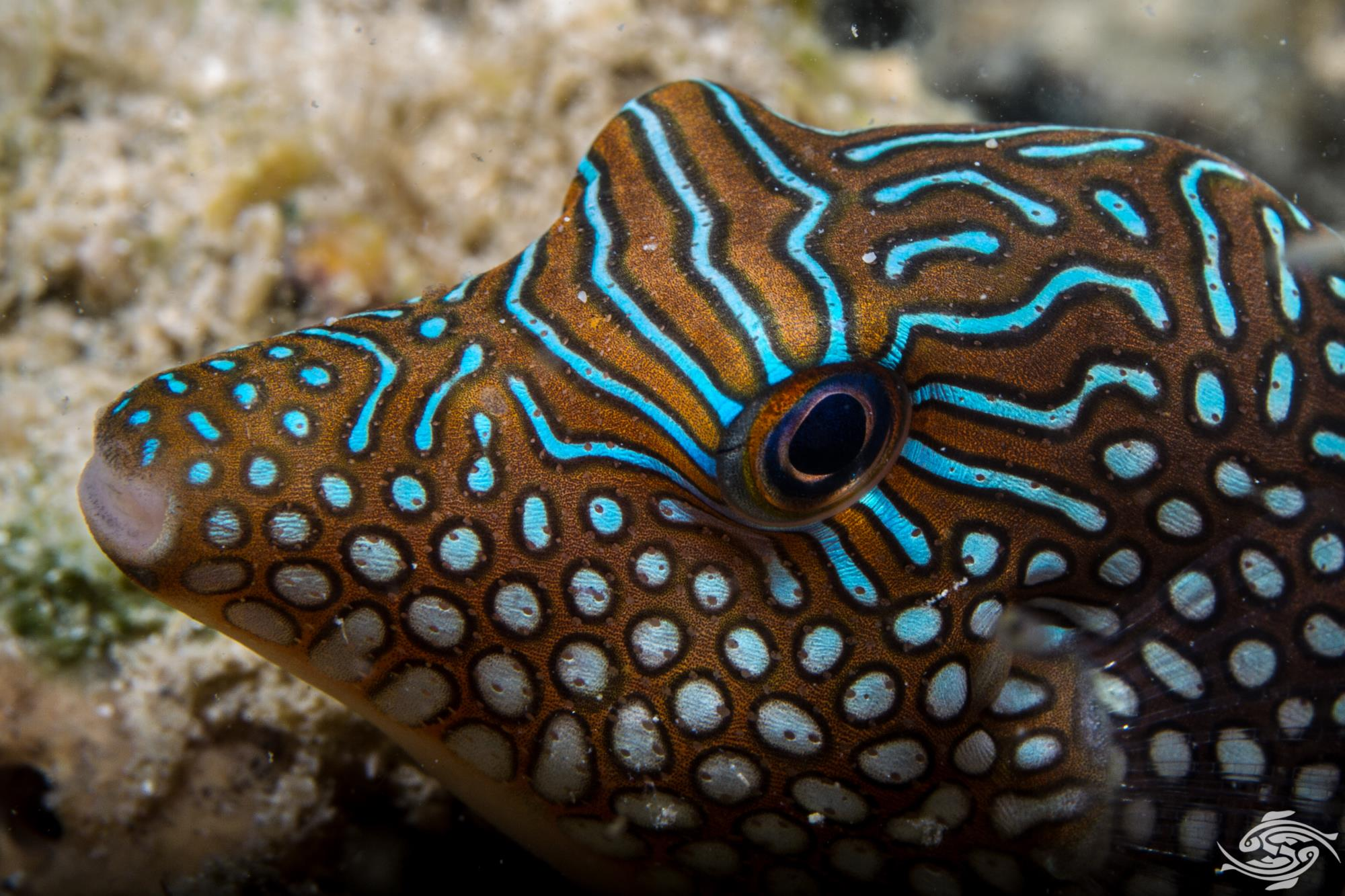 False eye toby, Canthigaster solandri is also known as the ocellated toby, blue spotted toby, jewel pufferfish, solanders toby and spotted sharpnose puffer.