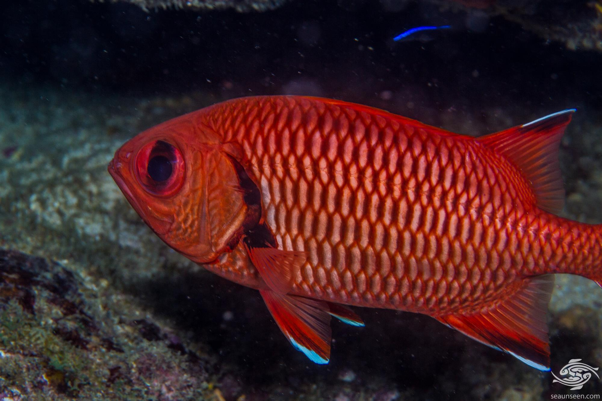 Blotcheye soldierfish Myripristis murjan, is also known as the Red soldierfish, Pinecone soldierfish or Crimson soldierfish