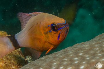 flower cardinalfish Apogon fleurieu is also known as the Bulls eye Cardinalfish and Ring tailed cardinalfish