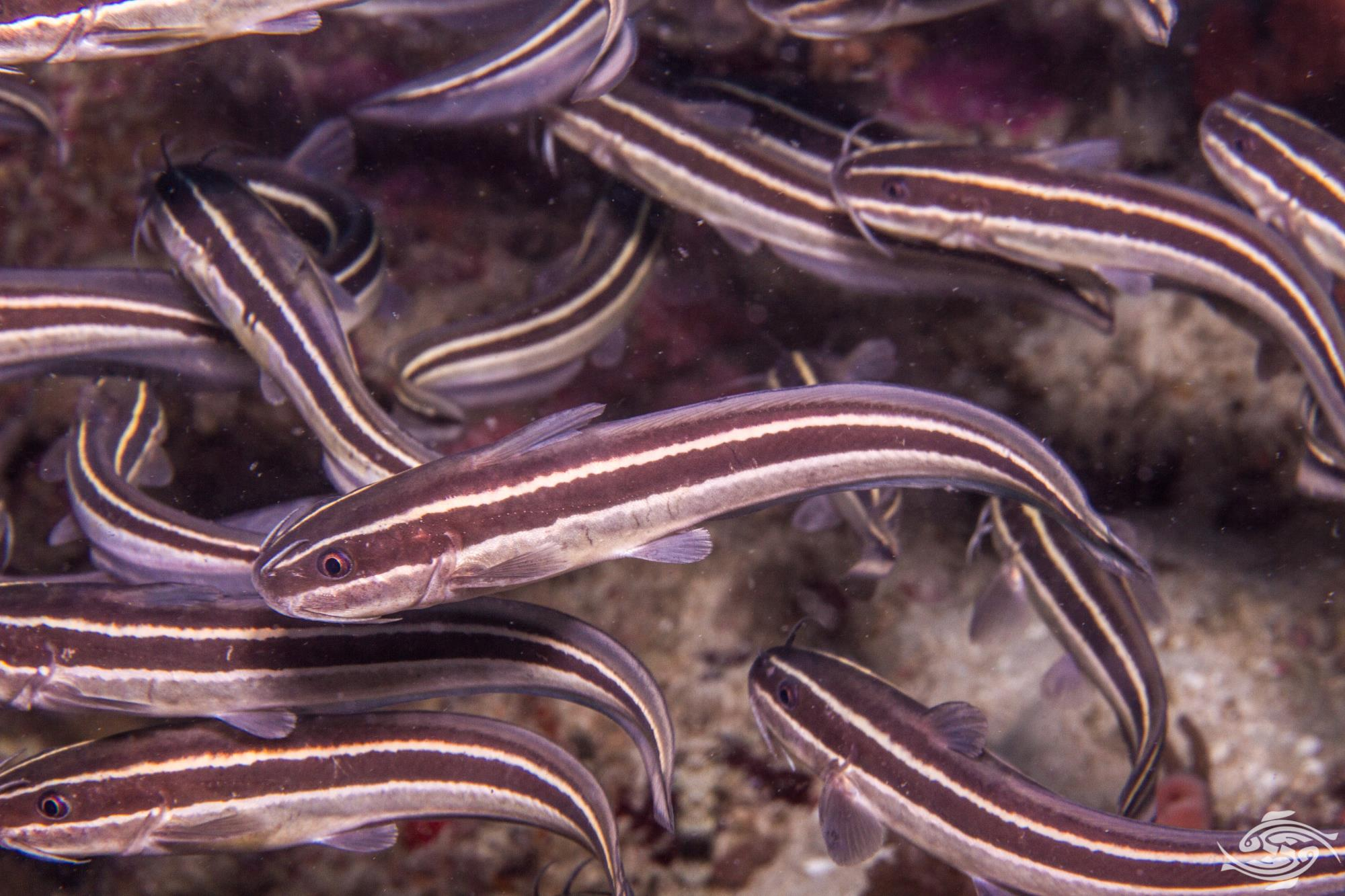 Striped eel catfish (Plotosus lineatus) also known as the oriental catfish
