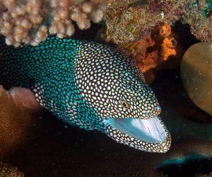 Eels white-mouth moray eel (Caesio xanthonota)