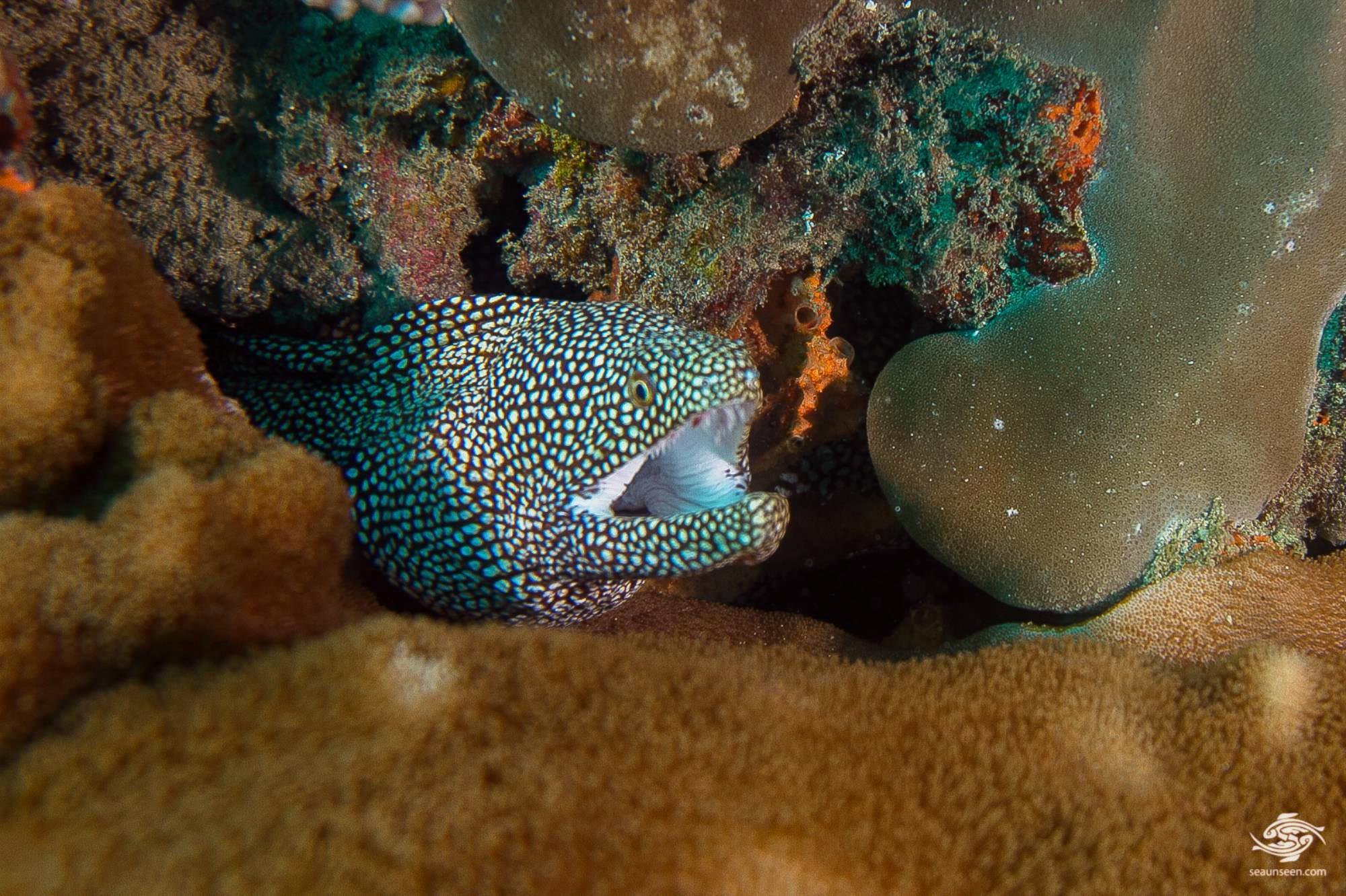 white-mouth moray eel (Gymnothorax Meleagris)  also known as the comet moray eel or  guinea fowl moray eel