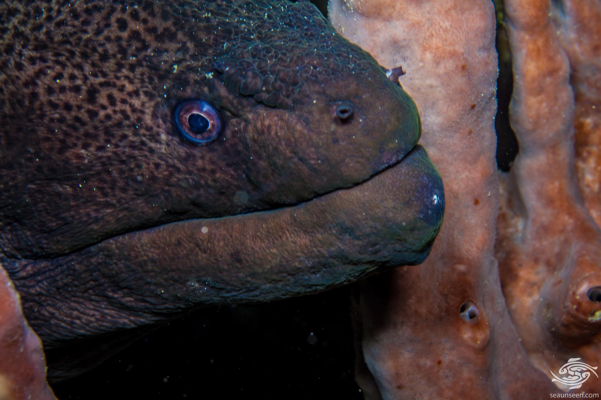giant moray (Gymnothorax javanicus)