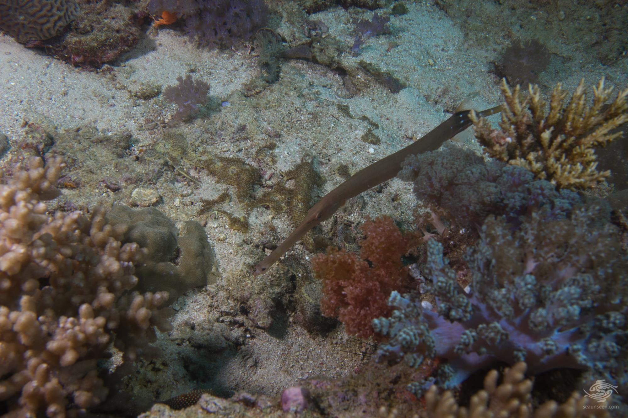 trumpetfish (Aulostomus chinensis)