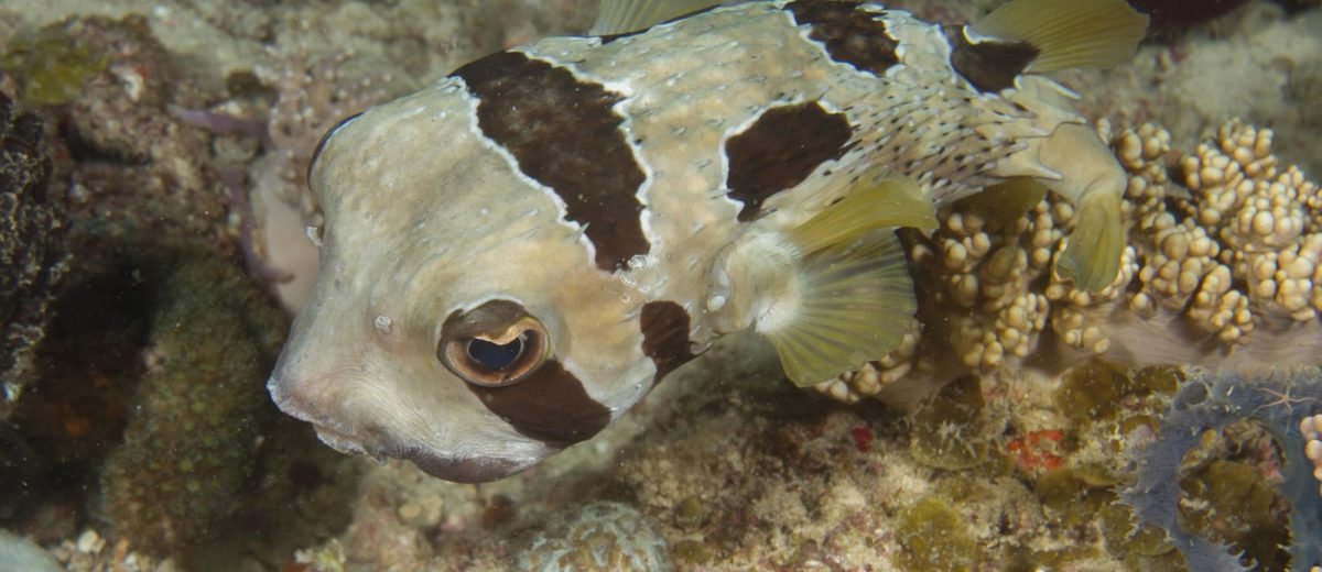short spine porcupinefish (Diodon liturosus)