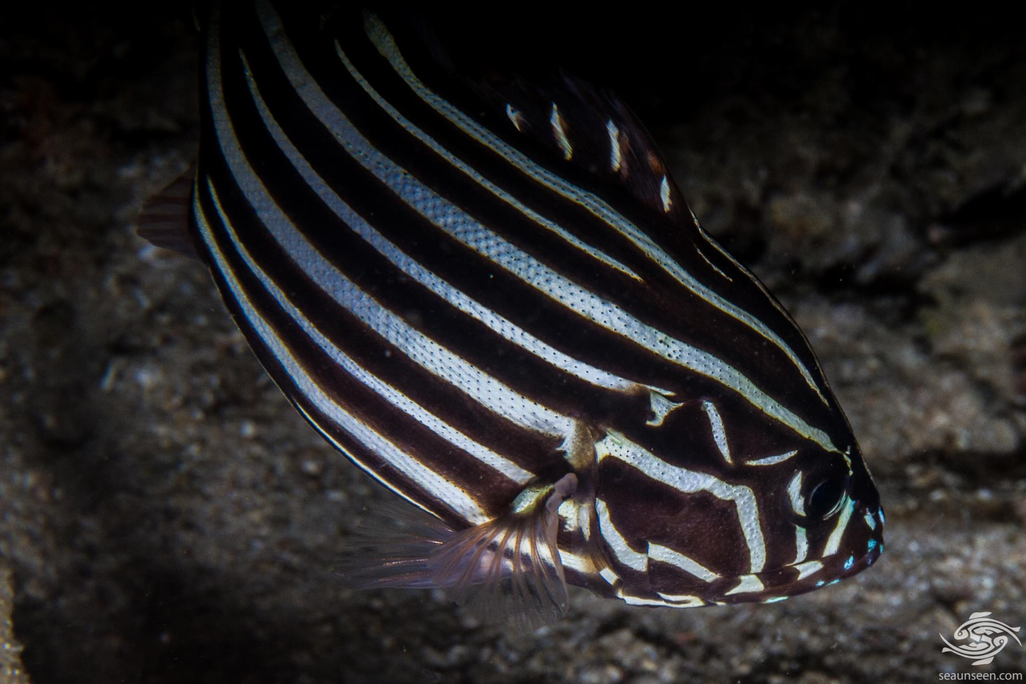 six-lined soapfish (Grammistes sexlineatus) is also known as the goldenstriped soapfish, Pacific goldenstriped bass and skunkfish