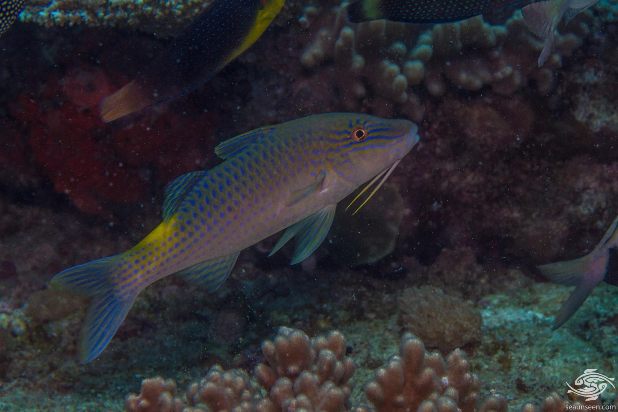 Goldsaddle Goatfish (Parupeneus cyclostomus) is also known as the Yellowsaddle goatfish
