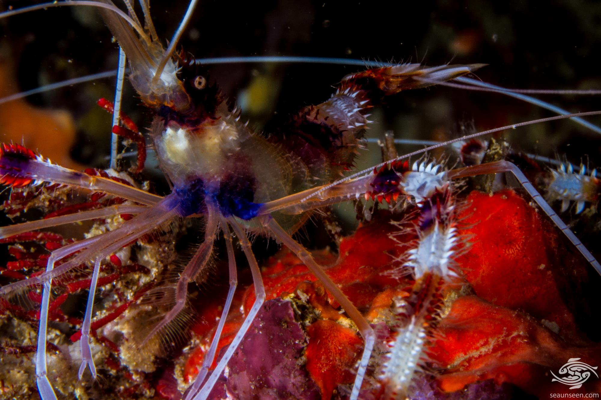 banded coral shrimp (Tenopus hispidus) is also known as the banded cleaner shrimp